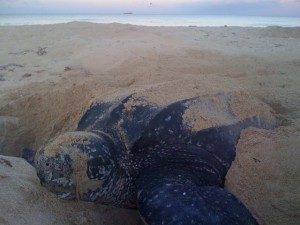 A female leatherback sea turtle (Dermochelys coriacea) completes her work at dawn. This photograph was taken as part of a research project permitted by the US Fish and Wildlife Service