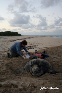 Sea Turtle Biologists, Jacob Hill and Molly Clifford, collect data on a nesting leatherback sea turtle at dawn.