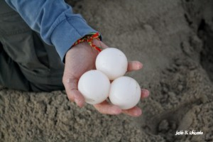Leatherback sea turtle eggs.