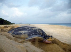 "A female leatherback turtle ""body pits"" prior to digging her nest."