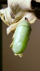 A cocoon or chrysalis is formed and the new butterfly will soon emerge.