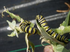 A pair of Monarch caterpillars feed on milkweed.