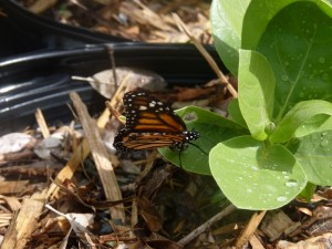 A female monarch butterfly lays a single egg
