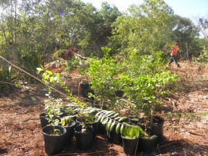 virgin islands native tree planting