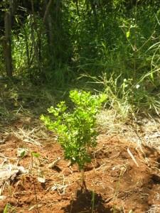 Freshly planted lignum vitae tree (Guaiacum officinale)